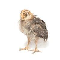 Цыплёнок :: Alex Bush