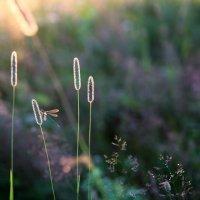 Стрекоза и травы.Закатное :: Ilona An