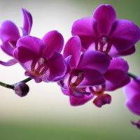 Орхидея фаленопсис Королева Красного Неба :: Ирина Приходько