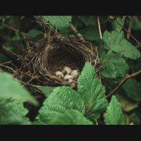 гнездо малиновки :: ольга солнцева