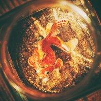 gold fish :: Larissa