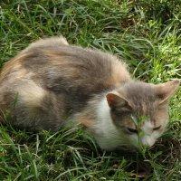 трехцветная кошка :: kate grayeyed