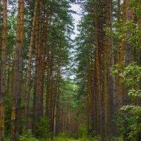 солотчинский лес :: Альбина Еликова