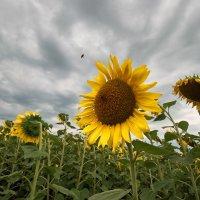 Цветок-солнце :: Валерий Голоха