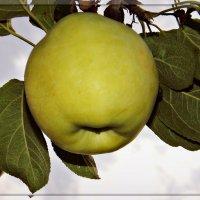 Яблочко наливное...) :: *MIRA* **