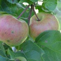 Яблочный спас. :: zoja