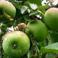 Яблоки после ливня :: Павлова Татьяна Павлова