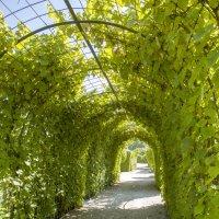 самый северный виноград :: Marina Talberga