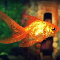 золотая рыбка :: Татьяна Ковалькова