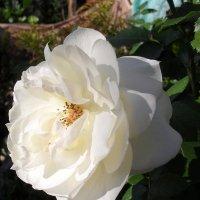 Белая роза :: Анатолий