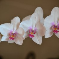 орхидея :: Светлана Пантелеева