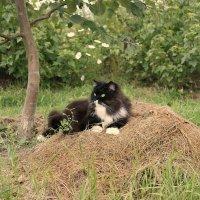 Кот на сене - тоже собака :-) :: Инна *