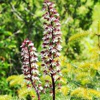 Дикая орхидея - ятрышник пурпурный :: Swetlana V
