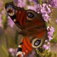"Бабочка- "" Павлиний глаз"" :: Larisa Freimane"