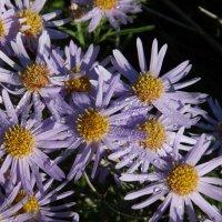 сентябринки-осенние цветы :: Анна