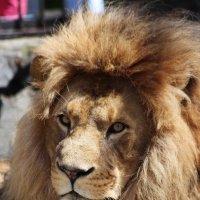 Африканский Лев по имена Самсон :: Владимир Шадрин