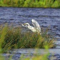 Большая белая цапля :: Олег .