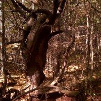 Таежный лес :: Елена *