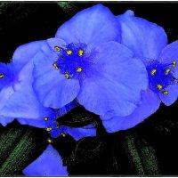 Традесканции в голубом убранстве :: Нина Корешкова