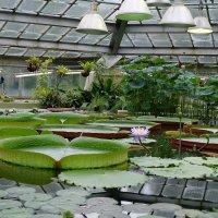 Виктория - гигантская лилия :: Ольга Васильева