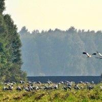 Снова птицы в стаи собираются... :: Геннадий Ячменев