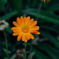 оранжевый цветок :: Света Кондрашова