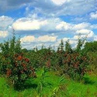 Яблоневый сад под облаками :: Nina Yudicheva