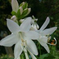 Хоста в цвету :: Galina194701