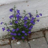 Не только растёт, но и цветёт :: Александр Алексеев