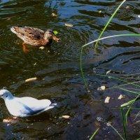 Чайка с рыбкой и утка :: Nina Yudicheva