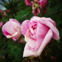 Роза в саду :: Виктория Власова