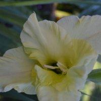 Цветок гладиолуса. :: zoja