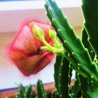 Цветок- Стапелия :: татьяна