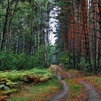 Меж берёз и сосен... :: Лесо-Вед (Баранов)