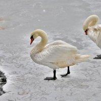 Лебеди на льду :: Иван Владимирович Карташов