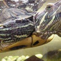 Черепаха. :: Марина Харченкова