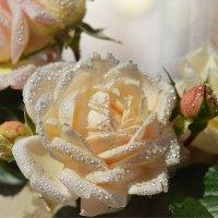"""Мускусная роза """"Эврика"""" :: Олеся"""