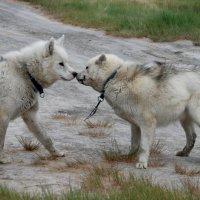 Ездовые собаки Арктики :: Tatiana Belyatskaya