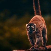 """А """"Я"""" вышел на вечерний променад...лемурляндия,о.Мадагаскар! :: Александр Вивчарик"""