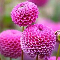 В розовом цвете.. :: Клара