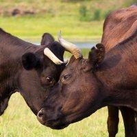 Коровы очищают друг друга от насекомых :: Светлана Чуркина
