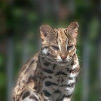 Бенгальская кошка :: Владимир Габов