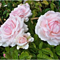 Розы. :: Валерия Комова
