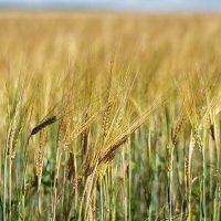 Колосья пшеницы :: Валерий Подобный