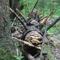 лес :: юрий Павлов