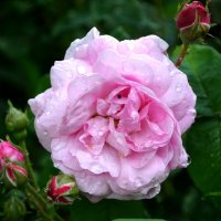 Роза с каплями росы :: Марина Романова