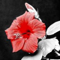 Цветочек аленький (взаправдишный). :: A. SMIRNOV