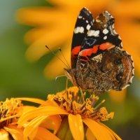 Бабочка на цветах :: Olcen - Ольга Лён