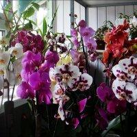 Вот такие орхидеи расцвели к 1 сентября :: Нина Корешкова