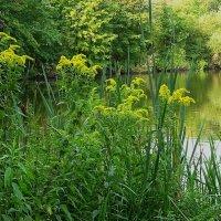 Золотарник у озера :: Маргарита Батырева
